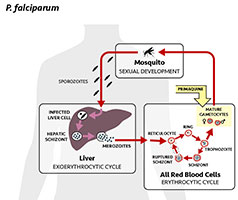 Malaria life cycle and use of primaquine